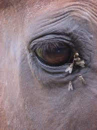 Natural Fly Control For Horses Made Easy Alternative Animal