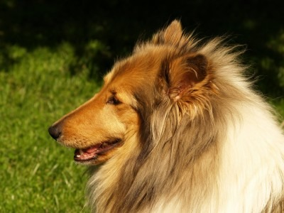 Two Easy Steps to Heal Ear Infections in Dogs 2