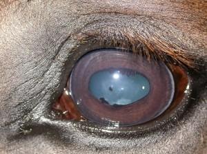 lyme-disease-in-horses-uveitis-300x224